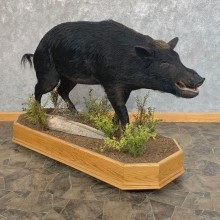 Wild Boar Life-Size Mount For Sale #23744 @ The Taxidermy Store