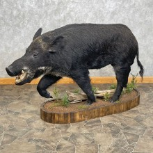 Wild Boar Life-Size Mount For Sale #24414 @ The Taxidermy Store