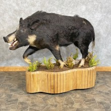Wild Boar Taxidermy Life-Size Mount For Sale