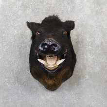Wild Boar Shoulder Mount For Sale #19284 @ The Taxidermy Store