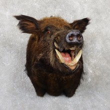 Wild Boar Shoulder Mount For Sale #19343 @ The Taxidermy Store