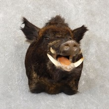 Wild Boar Shoulder Mount For Sale #20107 @ The Taxidermy Store
