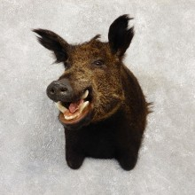 Wild Boar Shoulder Mount For Sale #20154 @ The Taxidermy Store