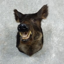 Wild Boar Shoulder Mount For Sale #17926 @ The Taxidermy Store