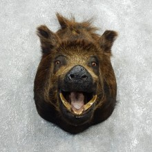 Wild Boar Shoulder Mount For Sale #18054 @ The Taxidermy Store