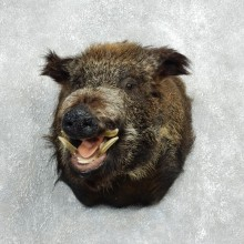 Wild Boar Shoulder Mount For Sale #18055 @ The Taxidermy Store