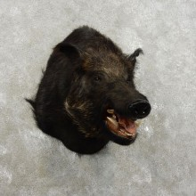Wild Boar Shoulder Mount For Sale #17345 @ The Taxidermy Store