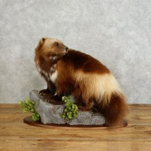 Wolverine Life-Size Mount For Sale #17540 @ The Taxidermy Store