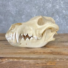 Wolf Skull For Sale #25390 @ The Taxidermy Store