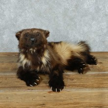 Laying Alaskan Wolverine Life-Size Mount #13618 For Sale @ The Taxidermy Store