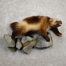 Wolverine Life-Size Taxidermy Mount For Sale