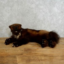 Laying Alaskan Wolverine Taxidermy Mount For Sale