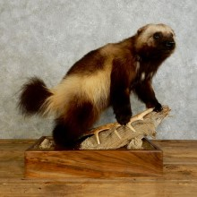 Wolverine Life-Size Mount For Sale #17550 @ The Taxidermy Store