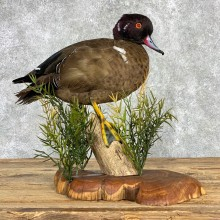 Wood Chestnut Teal Cross Duck Mount For Sale #22000 @ The Taxidermy Store