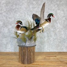 Wood Duck Pair Taxidermy Bird Mount For Sale #22001 @ The Taxidermy Store