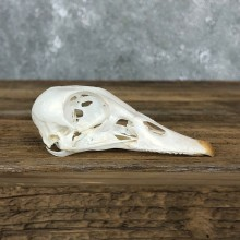 Wood Duck Skull For Sale #19590 @ The Taxidermy Store