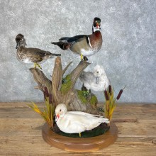 Wood Duck Slam Taxidermy Mount For Sale