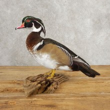 Wood Duck Taxidermy Bird Mount For Sale #21048 @ The Taxidermy Store