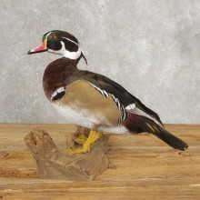Wood Duck Taxidermy Bird Mount For Sale #21049 @ The Taxidermy Store
