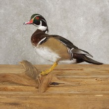 Wood Duck Taxidermy Bird Mount For Sale #21050 @ The Taxidermy Store