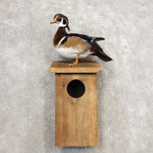 Wood Duck Taxidermy Bird Mount For Sale #21257 @ The Taxidermy Store