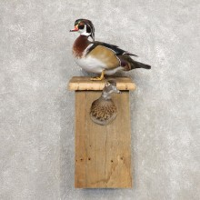 Wood Duck Taxidermy Bird Mount For Sale #21258 @ The Taxidermy Store