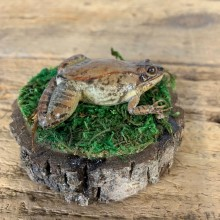 Wood Frog Taxidermy Mount For Sale #21548 @ The Taxidermy Store