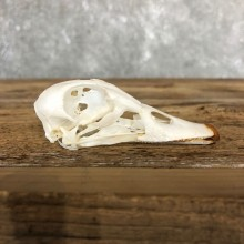 Wood Skull For Sale #19588 @ The Taxidermy Store