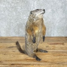 Woodchuck Life-Size Mount For Sale #24833 @ The Taxidermy Store