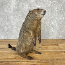 Woodchuck Life-Size Mount For Sale #25051 @ The Taxidermy Store