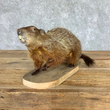 Woodchuck Prop Taxidermy Mount For Sale #21759 @ The Taxidermy Store