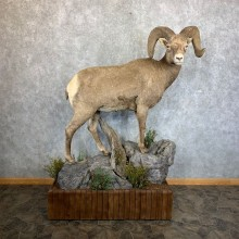Wyoming Bighorn Sheep Life-Size Taxidermy Mount #23656 For Sale - The Taxidermy Store