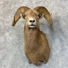 Rocky Mountain Bighorn Sheep Shoulder Mount For Sale #22736 @ The Taxidermy Store