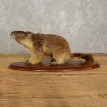 Yellow-Bellied Marmot Life-Size Mount For Sale #20389 @ The Taxidermy Store