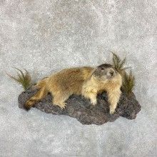 Yellow-Bellied Marmot Life-Size Mount For Sale #22383 @ The Taxidermy Store