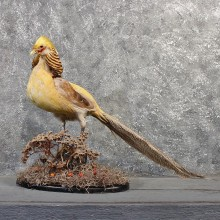Golden Pheasant Cross Mount #11488 - For Sale - The Taxidermy Store
