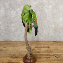 Yellow-Naped Parrot Taxidermy Bird Mount #20766 For Sale @ The Taxidermy Store