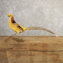 Yellow Golden Pheasant Bird Mount For Sale #20778 @ The Taxidermy Store