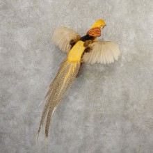 Yellow Golden Pheasant Bird Mount For Sale #20799 @ The Taxidermy Store