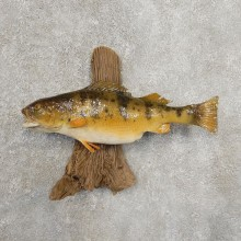 Yellow Perch Fish Mount For Sale #20938 @ The Taxidermy Store