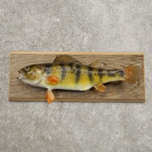 Yellow Perch Fish Mount For Sale #20947 @ The Taxidermy Store