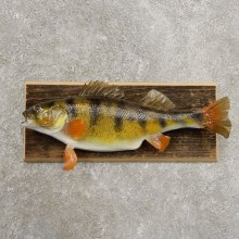 Yellow Perch Fish Mount For Sale #20948 @ The Taxidermy Store
