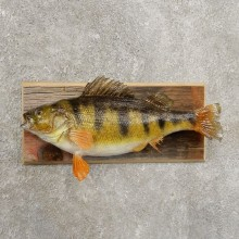 Yellow Perch Fish Mount For Sale #20961 @ The Taxidermy Store