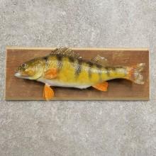 Yellow Perch Fish Mount For Sale #20963 @ The Taxidermy Store