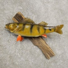 Yellow Perch Fish Mount For Sale #20964 @ The Taxidermy Store