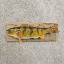 Yellow Perch Fish Mount For Sale #20973 @ The Taxidermy Store