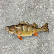 Yellow Perch Fish Mount For Sale #22499 @ The Taxidermy Store