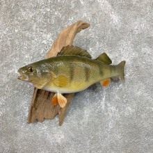 """13.5"""" Perch Freshwater Fish Taxidermy Mount For Sale"""