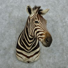 Zebra Shoulder Taxidermy Mount #12972 For Sale @ The Taxidermy Store