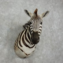 African Zebra Shoulder Mount For Sale #17517 @ The Taxidermy Store